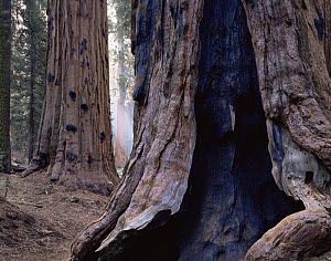 Trunk of Giant Sequoia tree {Sequoiadendron giganteum} showing scars from ancient fires, Sequoia NP, California, USA  -  Jack Dykinga