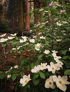 Pacific dogwood {Cornus nuttallii} flowering amongst Giant sequoia trees {Sequoiadendron giganteum} and White fir trees {Abies concolor} Sequoia NP, California, USA  -  Jack Dykinga