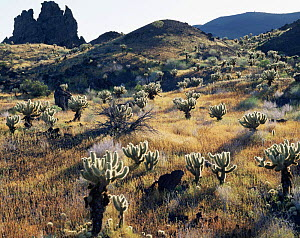 Teddy bear cholla cactus {Opuntia bigelovii} growing amongst grass on volcanic lava flow, Biosphere Reserve of Pinacate and Gran Desierto Altar, Sonora, Mexico  -  Jack Dykinga