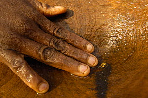 Panning for gold and finding a gold nugget. This mining is now illegal as it takes place in the protected forest of Daraina which is the habitat for the Golden-crowned / Tattersall's sifaka (Propithec...  -  Pete Oxford