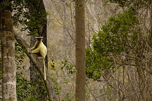 Golden-crowned / Tattersall's sifaka (Propithecus tattersalli) in dry decidious forest, Daraina, NE MADAGASCAR - Pete Oxford