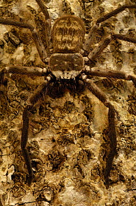 Tree-hole or Huntsman spider. {Sparassidae}Daraina Special Reserve, Northern MADAGASCAR - Pete Oxford