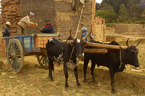 Loading bricks onto cart pulled by Zebu cattle, MADAGASCAR 2005  -  Pete Oxford