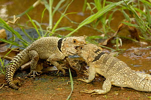 Iguanid lizards (Oplurus cuvieri) Two males fighting for territory. Ankarafantsika Strict Nature Reserve, Western dry-deciduous forest. MADAGASCAR . These are medium sized iguanas. This sub-group of t...  -  Pete Oxford