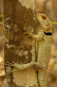 Madagascar spiny tailed lizard (Oplurus cuvieri)  Ankarafantsika Strict Nature Reserve, Western dry-deciduous forest. MADAGASCAR, endemic.  -  Pete Oxford