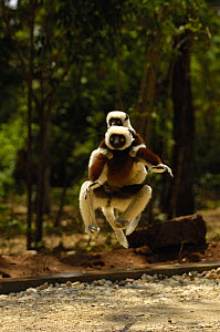 Coquerel's sifaka (Propithecus coquereli) female jumping across a clearing with baby in on her back,  Ankarafantsika Strict Nature Reserve, Western deciduous forest. MADAGASCAR, endemic  -  Pete Oxford