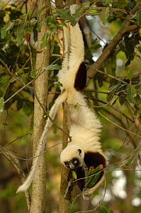 Coquerel's sifaka (Propithecus coquereli) handing upsidedown feeding, Ankarafantsika Strict Nature Reserve, Western deciduous forest. MADAGASCAR  endemic - Pete Oxford