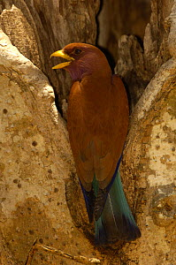 Broad-billed roller (Eurystomus glaucurus) at nest hole. Ankarafantsika Strict Nature Reserve, Western deciduous forest. MADAGASCAR  -  Pete Oxford