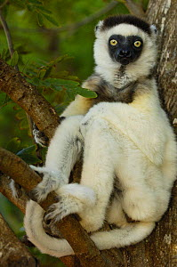 Verreaux's sifaka (Propithecus verreauxi) tropical dry forest, Berenty Reserve, Southern MADAGASCAR, endemic  -  Pete Oxford