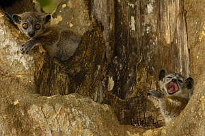 White-footed sportive lemur (Lepilemur leucopus) Berenty Reserve. Southern MADAGASCAR, endemic,  Xerophytic spiny forest and gallery forest in southern and south-west Madagascar. - Pete Oxford