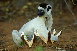 Verreaux's sifaka (Propithecus verreauxi) feeding on 'fungus-like flower' of (Hydnora esculenta) a parasitic plant of leguminous trees. Berenty Reserve, Southern MADAGASCAR - Pete Oxford