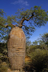 Bottle baobab tree (Adansonia rubrostipa) Tsimanampetsotsa Special Reserve. South-west desert area of MADAGASCAR  -  Pete Oxford