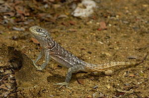 Iguanid lizard (Oplurus cyclurus) Tsimanampetsotsa Special Reserve. South-west desert of MADAGASCAR, endemic  -  Pete Oxford