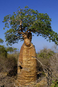 Baobab (Adansonia rubrostipa) Itampolo near Tsimanampetsotsa Special Reserve. South-west desert area of MADAGASCAR, endemic  -  Pete Oxford