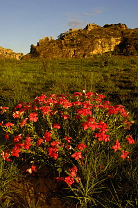 Isalo National Park with Rosy periwinkle (Catharanthus roseus) in bloom in foreground and  Sandstone Massif in background, MADAGASCAR - Pete Oxford