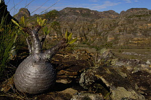 Elephant's foot plant (Pachypodium horombensis) Isalo National Park, MADAGASCAR, endemic  -  Pete Oxford