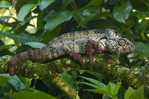 Oustalet's chameleon (Furcifer oustaleti) in tree, Western and central MADAGASCAR, endemic  -  Pete Oxford