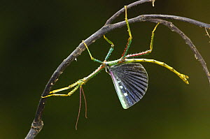 Stick insect (Phasma chrysoptera) displaying, Eastern rainforest, MADAGASCAR endemic  -  Pete Oxford