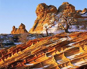 Petrified sand dunes with eroded cross hatch sandstone strata at dawn, Paria Canyon-Vermilion Cliffs Wilderness, Arizona, USA with first winter snow and Juniper bushes {Juniperus osteosperma}  -  Jack Dykinga