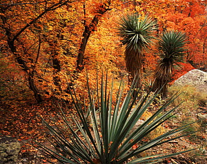 Yucca {Yucca schottii} and Bigtooth maples {Acer grandidentatum} in autumn colours, Huachuca mountains, Coronado National Forest, Arizona, USA  -  Jack Dykinga
