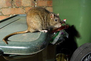 Brown Rat ( Rattus norvegicus ) on dustbin looking for food, captive, UK - Andy Sands