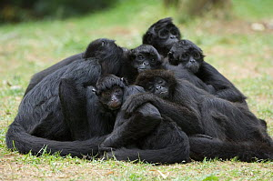 Group of Colombian Black Spider monkeys (Ateles fusciceps robustus) resting in a heap, captive, a vulnerable species native to Colombia and Panama  -  Eric Baccega