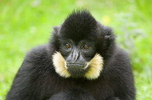 Portrait of Goldencheeked Gibbon (Hylobates concolor gabriellae) captive, native to Vietnam, Laos and Cambodia  -  Eric Baccega