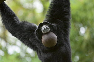 Siamang Gibbon (Hylobates syndactylus) vocalising, vocal pouch inflated, captive, native to forests of Malaysia, Sumatra and Thailand  -  Eric Baccega