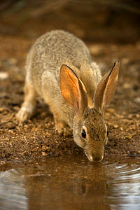 Desert Cottontail (Sylvilagus auduboni) drinking from a temporary pool of water, Sonoran Desert, Arizona - John Cancalosi