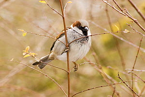 Male Common / House sparrow (Passer domesticus) perched on twig, grey cap clearly visible, Gloucestershire, UK  -  Michael Hutchinson