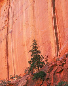 Douglas fir tree {Pseudotsuga menziesii} in front  of Long Canyon with vertical desert varnish striations, Grand Staircase-Escalante, Utah, USA  -  Jack Dykinga