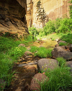Yellow monkey flower {Mimulus guttatus} and Ponderosa pine {Pinus ponderosa} growing beside water in Death Hollow, Grand Staircase-Escalante, Utah, USA  -  Jack Dykinga