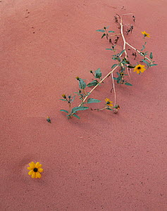Sand sunflowers {Helianthus anomolus} half buried in sand, Grand Staircase-Escalante, Utah, USA  -  Jack Dykinga