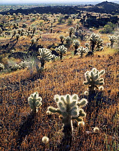 Teddy bear cholla cactus {Opuntia bigelovii} growing on volcanic lava flow, Pinacate and Gran Desierto Altar Biosphere Reserve, Sonoran desert, Mexico  -  Jack Dykinga