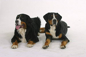 Domestic dog, Bernese Mountain Dog and Greater Swiss Mountain Dog  -  Petra Wegner