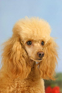 Domestic dog, Apricot Miniature Poodle - Petra Wegner