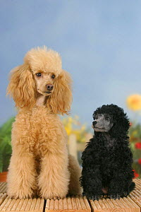Domestic dog, 6 week old silver Miniature Poodle puppy looking up at apricot Miniature Poodle - Petra Wegner