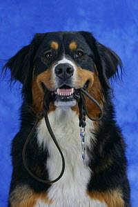 Domestic dog, Bernese Mountain Dog holding leash / lead in mouth  -  Petra Wegner