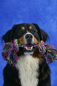 Domestic dog, Bernese Mountain Dog holding toy in mouth  -  Petra Wegner