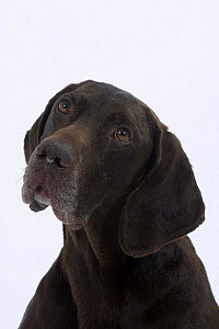 Domestic dog, German Shorthaired Pointer - Petra Wegner