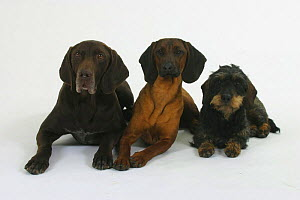 Domestic dogs, German Shorthaired Pointer, Bavarian Mountain Scenthound and Wirehaired Dachshund - Petra Wegner