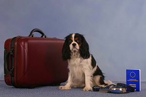 Domestic dog, Cavalier King Charles Spaniel (tricolor) next to suitcase with vaccination card - Petra Wegner