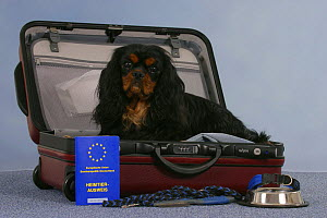 Domestic dog, Cavalier King Charles Spaniel (black and tan) in open suitcase with vaccination card, bowl and leash. - Petra Wegner