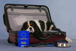 Domestic dog, Cavalier King Charles Spaniel, tricolor, in open suitcase and vaccination card, bowl and leash - Petra Wegner