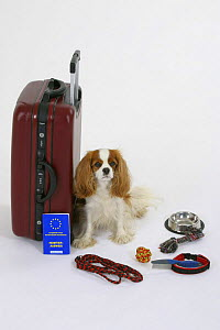 Domestic dog, Cavalier King Charles Spaniel (Blenheim) next to suitcase with vaccination card - Petra Wegner