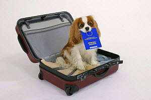 Domestic dog, Cavalier King Charles Spaniel (Blenheim) in suitcase with vaccination card in mouth - Petra Wegner
