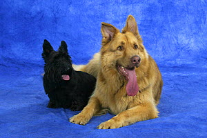 Domestic dogs, German Shepherd Dog and Scottish Terrier  -  Petra Wegner