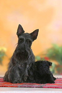Domestic dog, black Scottish Terrier with puppy, 6 weeks  -  Petra Wegner