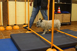 Domestic dog, Cairn Terrier having physiotherapy, walking over cavalettis  -  Petra Wegner