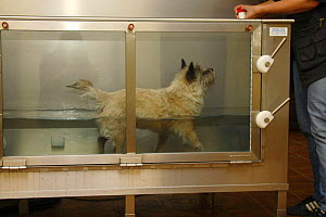 Domestic dog, Cairn Terrier having physiotherapy in water, therapeutic exercises  -  Petra Wegner